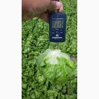 Продам салат айсберг, лучшее качество и цена