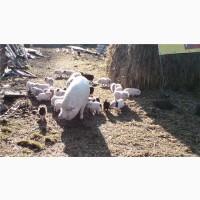 Свині в#039;єтнамські