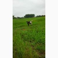 Продам коз молоко/м#039;ясо