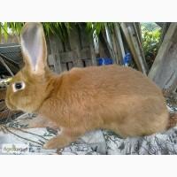 Кроли - слученные самки мясной породы Бургундец
