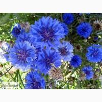 Продам Василек цветы