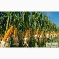 Семена кукурузы SG29N68