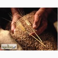 Закупаем пшеницу 2-6 класса. Самовывоз