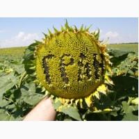 Карат насіння гібриду соняшнику( новинка від НК «Гран»)