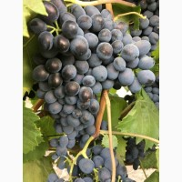 Продам столовый и техн виноград