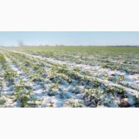 Семена казахстанского озимого нута Давид