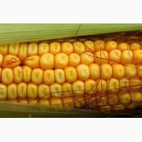ВН 63 кукурудза - посівний матеріал