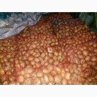 Картофель Ривьера цена 6 грн. качество гарантируем доставка по всей Украине