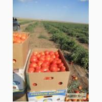 Продам помидоры есть объемы в хорошем качестве