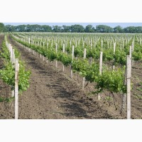 Виноград Молдова 10грн ОПТОМ и мелким оптом