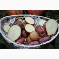 Картопля, картофель, картошка