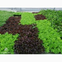 Продам салат-рукола, мангольд, корн, латук-смеси и моно, так же салат-латук в горшочках