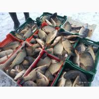 Продам живую рыбу! Карп с пруда! Оптом от 30кг