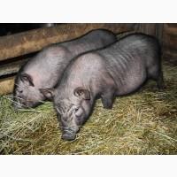 М#039;ясо в#039;єтнамських свиней