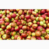 Купуємо яблука свіжі оптом