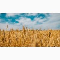 Куплю пшеницу. Оптом