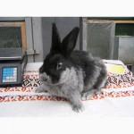 Продаю кроликов породы серебристый (полтавское серебро, европейское серебро, БСС)