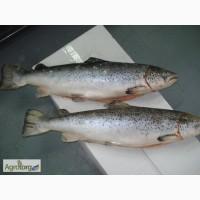Красная рыба Форель 5-6 кг тушка с головой Охлаждена СКИДКИ
