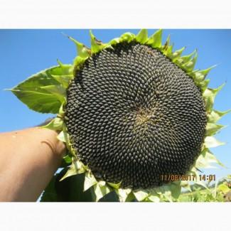 Гібрид соняшнику ШТ-9093, Штрубе (Strube) найвища врожайність в степу