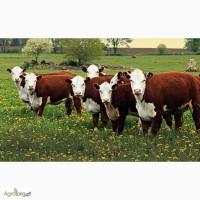 Закуповуємо ВРХ (корови, бики, телята)