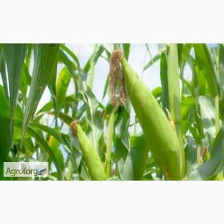 Семена кукурузы Лоренс