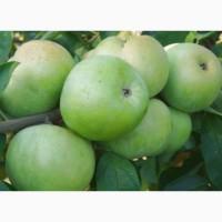 Куплю яблоки семеренко, флорина, горец