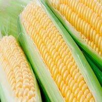 Семена кукурузы Солонянский