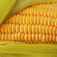 Кукуруза Солонянский семена
