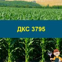 Насіння кукурудзи ДКС 3795