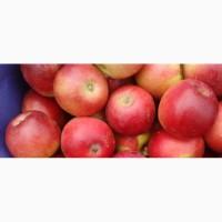 Яблоки летние Прим Руж 60