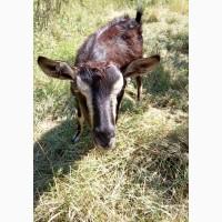 Продам срочно дойную козу
