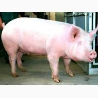 Продаем свиней