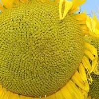 Семена подсолнечника НС-Х-7637