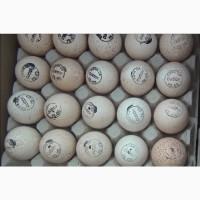 Биг-6, Хайбрид инкубационное яйцо