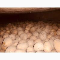 Семенное хозяйство реализует семена картофеля, сорт сагита