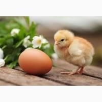 Инкубационное Яйцо Мясо-Яичной Породы Геркулес