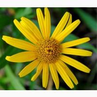 Арника горная (цветы) опт от 5 кг
