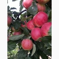 Продам яблука відмінної якості в дуже гарному окрасі різних сортів власного виробництва
