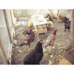 Продам породистых кур