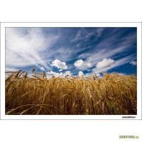 Куплю пшеницу 1-6 класс