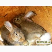 Продам молодняк 3-х месячных кроликов