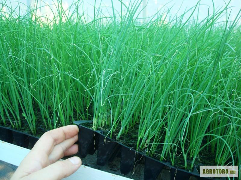 Выращивание лук-шнитт на подоконнике 67
