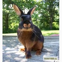 Продам кролики племенные породы : черно огненные , калифорния , европейское серебро