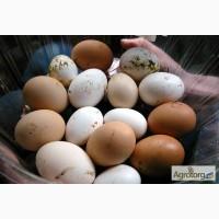 Яйца оптом с фермы