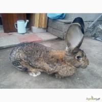 Продам кроликов бельгийского великана