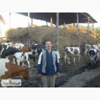 Продаются 2 дойные коровы