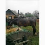 Продам двох коней