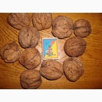 Саджанці грецьких горіхів