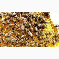 Продаю пчелы породы Карпатка и Украинска степова