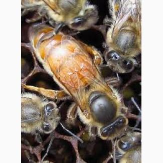 Продам пчеломатки (бджоломатки) Бакфаст 2018 року
